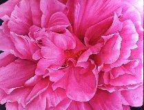 SP Pink